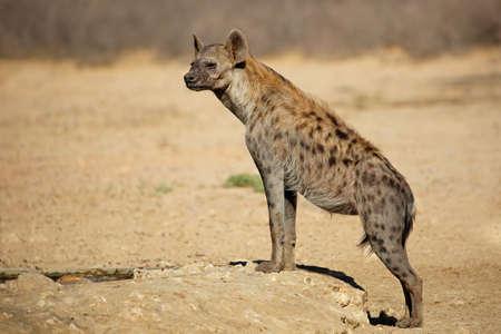 A spotted hyena (Crocuta crocuta) in natural habitat, Kalahari desert, South Africa Foto de archivo