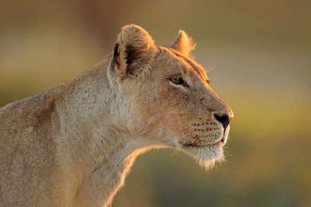 Portrait of an African lioness (Panthera leo), Kalahari desert, South Africa Stock Photo