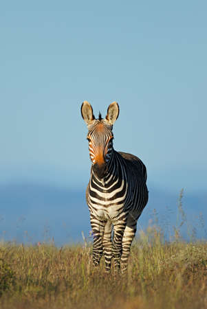 Cape mountain zebra (Equus zebra) in grassland, Mountain Zebra National Park, South Africa Stock Photo