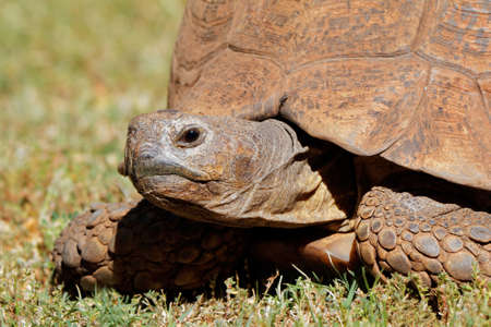 Close-up of a leopard tortoise (Stigmochelys pardalis) peeking from its shell, South Africa Stock Photo