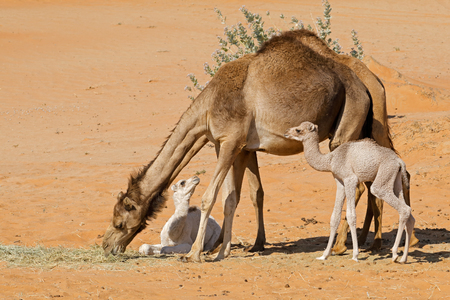 Camels with young calves on a desert sand dune, Arabian Peninsula