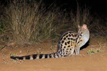 Large-spotted genet (Genetta tigrina) in natural habitat, South Africa