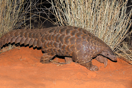 Temmincks ground pangolin (Manis temminckii) in natural habitat, South Africa