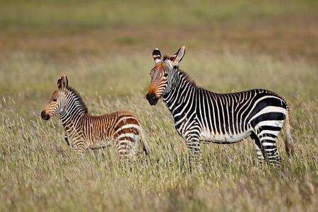 Cape mountain zebra (Equus zebra) mare with foal, Mountain Zebra, South Africa
