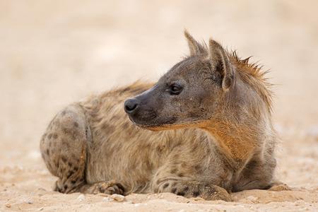 A spotted hyena (Crocuta crocuta) resting, Kalahari desert, South Africa
