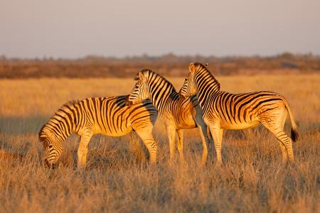 Plains zebras (Equus burchelli) in late afternoon light, Mokala National Park, South Africa Imagens