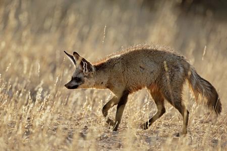 A bat-eared fox (Otocyon megalotis) in natural habitat, Kalahari desert, South Africa Imagens
