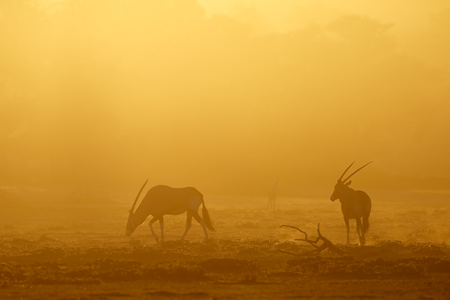 Gemsbok antelopes (Oryx gazella) in dust at sunrise, Kalahari desert, South Africa Imagens