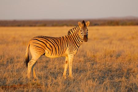 Plains zebra (Equus burchelli) in late afternoon light, Mokala National Park, South Africa