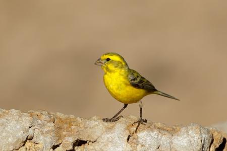 Canari jaune (Serinus mozambicus) perché sur un rocher, désert du Kalahari, Afrique du Sud