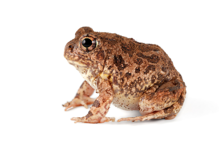 A southern African sand frog (Tomopterna cryptotis) isolated on white