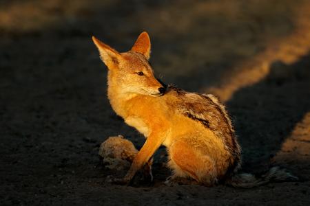 Black-backed Jackal (Canis mesomelas) in early morning light, Kalahari desert, South Africa