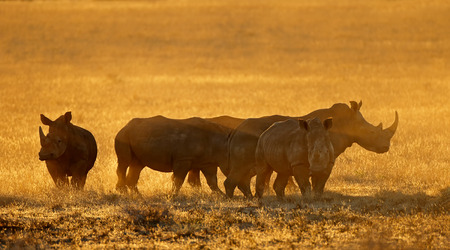 Group of white rhinoceros (Ceratotherium simum) in dust at sunset, South Africa Imagens