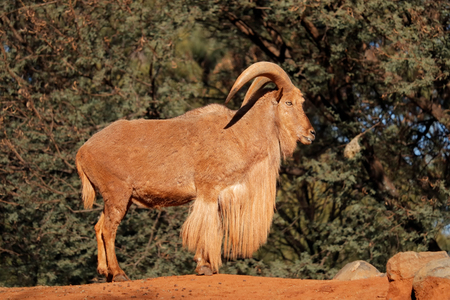 A male barbary sheep (Ammotragus lervia), Northern Africa