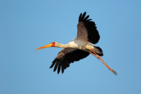 Yellow-billed stork (Mycteria ibis) in flight, Kruger National Park, South Africa