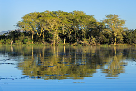 Distinctive fever trees (Vachellia xanthoploea) growing on the edge of a lake, Mkuze game reserve, South Africa