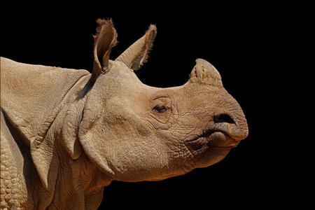 Portrait of an Indian rhinoceros (Rhinoceros unicornis) isolated on black