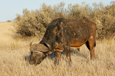 An African buffalo (Syncerus caffer) grazing in grassland, Mokala National park, South Africa