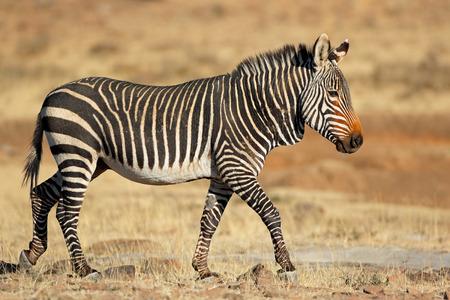 Cape mountain zebra (Equus zebra) in natural habitat, Mountain Zebra National Park, South Africa Imagens