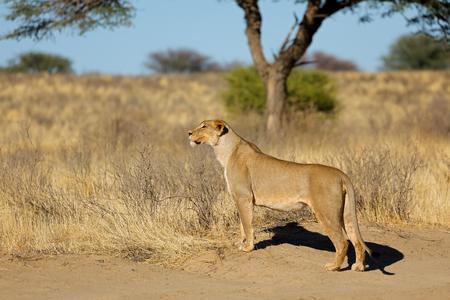 Alert lioness (Panthera leo) in natural habitat, Kalahari desert, South Africa Imagens