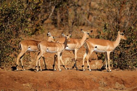 A group of impala antelopes (Aepyceros melampus), Kruger National Park, South Africa
