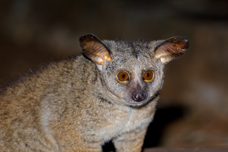 Portrait of a nocturnal greater galago or bushbaby (Otolemur crassicaudatus), South Africa Imagens
