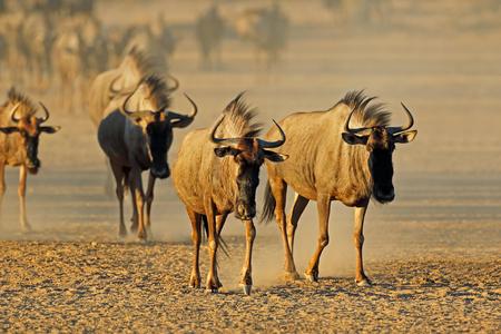 Blue wildebeest (Connochaetes taurinus) walking in a dry riverbed, Kalahari desert, South Africa