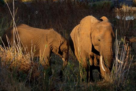 African elephants (Loxodonta africana) feeding, Kruger National Park, South Africa