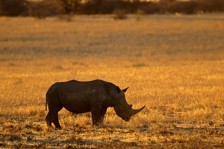 Silhouette of a white rhinoceros (Ceratotherium simum) at sunset, South Africa