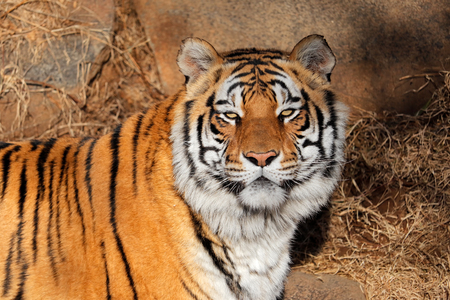 Portrait of a Bengal tiger (Panthera tigris bengalensis) in natural habitat, India Imagens