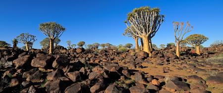 Panoramic landscape of quiver trees (Aloe dichotoma) and granite rocks, Namibia Imagens