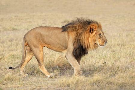 Big male African lion (Panthera leo) in natural habitat, Etosha National Park, Namibia Imagens