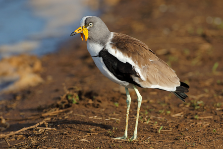 White-crowned lapwing (Vanellus albiceps), Kruger National Park, South Africa Imagens
