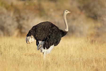 Autruche mâle (Struthio camelus) dans l'habitat naturel, Afrique du Sud