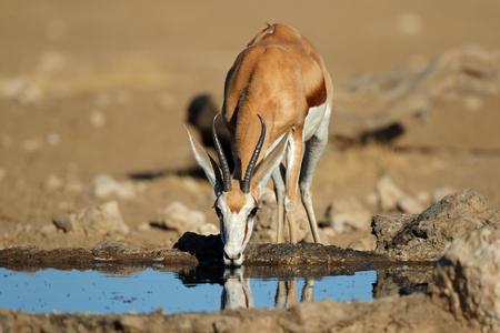 A springbok antelope (Antidorcas marsupialis) drinking water at a waterhole, Kalahari desert, South Africa Imagens