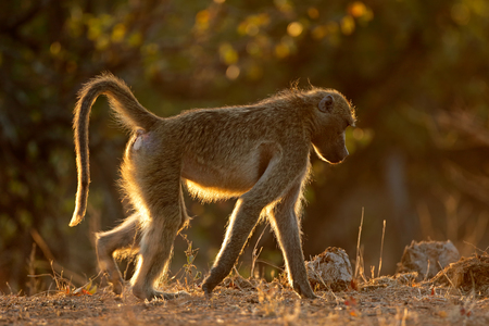 Backlit chacma baboon (Papio ursinus), Kruger National Park, South Africa