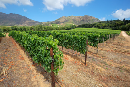 Scenic landscape of a vineyard against a backdrop of mountains, Cape Town, South Africa