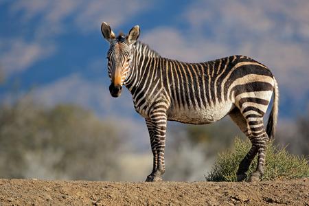 Cape mountain zebra (Equus zebra) in natural habitat, Mountain Zebra National Park, South Africa 免版税图像