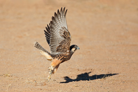A lanner falcon (Falco biarmicus) in flight, South Africa