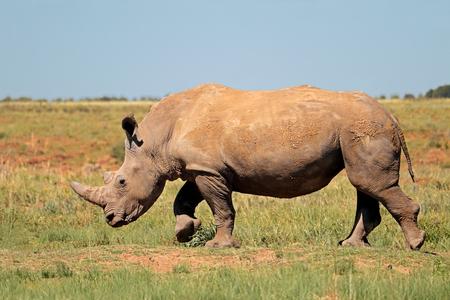 Ein weißes Nashorn (Ceratotherium simum) im natürlichen Lebensraum, Südafrika