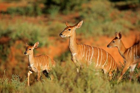 Female Nyala antelope (Tragelaphus angasii) with young lamb, Mokala National Park, South Africa