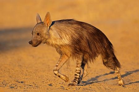 An alert brown hyena (Hyaena brunnea), Kalahari desert, South Africa 免版税图像