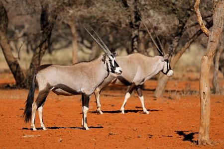 Gemsbok antelopes (Oryx gazella) in natural habitat of red Kalahari sand, South Africa Imagens