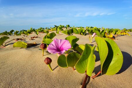 Beach morning glory (Ipomoea pes-caprae) with colorful flower, South Africa Reklamní fotografie