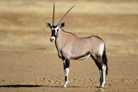 A gemsbok antelope (Oryx gazella), Kalahari desert, South Africa