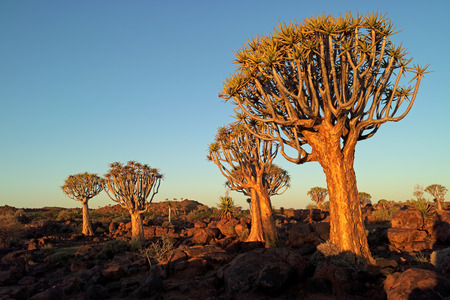 Scenic landscape with quiver trees (Aloe dichotoma) against a clear blue sky, Namibia