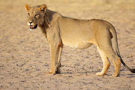 Jeune mâle African lion (Panthera leo), désert du Kalahari, Afrique du Sud
