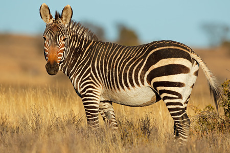 Cape Mountain Zebra (Equus Zebra) im natürlichen Lebensraum, Südafrika