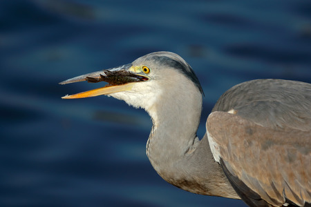 Portrait of a grey heron (Ardea cinerea) swallowing a fish,  South Africa