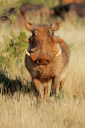A large warthog (Phacochoerus africanus) in natural habitat, South Africa Reklamní fotografie